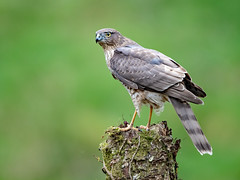 Sparrowhawk (Female) (coopsphotomad) Tags: sparrowhawk bird wildlife raptor predator wild british woodland perch moss bokeh canon green brown beak talons explored explore