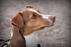 Gorgeous Girl (c.marney) Tags: jack russell terrier dog