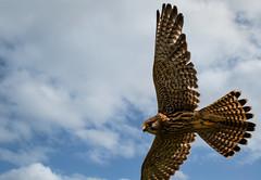feathers aplenty (jeff.white18) Tags: kestrel birdofprey preditor flight nature feathers nikon wings sky blue bird flickr