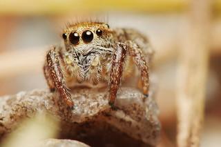 Golden Brown Jumping Spider (#5)