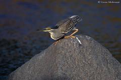 Green-backed Heron (leendert3) Tags: leonmolenaar southafrica krugernationalpark wildlife nature birds greenbackedheron ngc npc