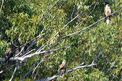 Whistling Kite trio_4088E (Haliastur sphenurus) (Neil H Mansfield) Tags: haliastursphenurus whistlingkite nature native raptor laurieton nsw australia camdenhaven lake