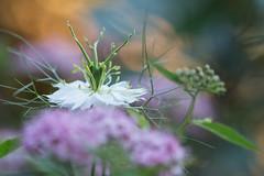 Explosion de couleurs (Explored 2018-06-02) (Gisou68Fr) Tags: fleurs flowers jardin garden nivelle nigelladamascena nigellededamas spirée bokeh couleurs printemps spring colors colours 68 alsace hautrhin