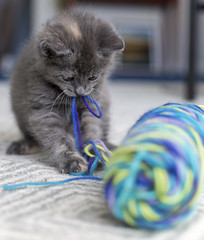 (donna leitch) Tags: kitten emma foster wool playful playing young baby sweet