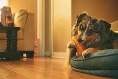 Give a Dog a Bone (flashfix) Tags: june032018 2018inphotos ottawa ontario canada nikond7100 40mm flashfix flashfixphotography portrait sock dog canine animal pet austrailanshepherd triaustrailanshepherd bluemerle tricolour heterochromia bone toy bed