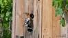 Wiedehopf (Upupa epops) (Oerliuschi) Tags: birds vögel wiedehopf nistkasten weinberge kaiserstuhl ihringen