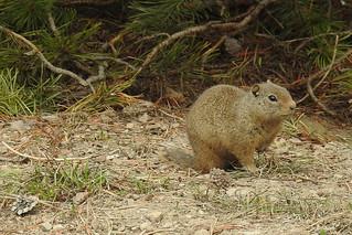 Teton - Uinta Ground Squirrel