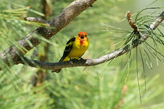 Western Tanager (8890) (Bob Walker (NM)) Tags: bird perching treelimb tanager westerntanager pirangaludoviciana weta losalamos newmexico usa