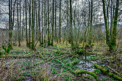 Sleepy Hollow (StevePilbrow) Tags: river brathay national trust trees woods boggy water wet marshland moss lake district park cumbria lakes north west england country side walking hill pike nikon d7200 nikkor 18105mm march april 2018