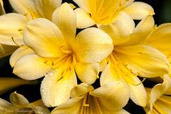 Yellow Clivia mineata (Johan Grobbelaar) Tags: flora geel clivia