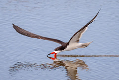 Skimming (tresed47) Tags: 2018 201806jun 20180606newjerseybirds birds blackskimmer canon7d content ebforsythenwr folder june newjersey peterscamera petersphotos places season spring takenby tern us ngc