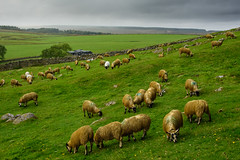Sheep and Stone Walls (Harry2010) Tags: field sheep green stonefence farm outdoors england pasture
