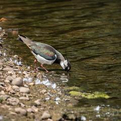 Lapwing (iantaylor19) Tags: lapwing brandon marsh nature reserve warwickshire wildlife trust
