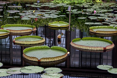 """Victoria amazonica (Millie Cruz """"On and Off"""") Tags: victoriaamazonica acuatic flowers waterlily nymphaeaceae circular leaves nature water longwoodgardens kennetsquarepa naturegarden canon plants ef24105mmf4lisusm canoneos5dmarkiii reflection soe inspiredbylove saveearth"""