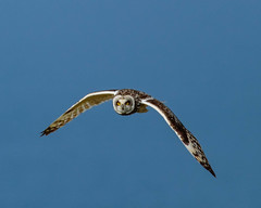 Short-eared Owl  Hunting (warren hanratty) Tags: wildbird skomer warrenhanrattyphotography wildlife owl seo nature bird shortearedowl asioflammeus pembrokeshire skomerisland