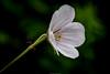 Geranium (eosfoto) Tags: macro sigma tuin