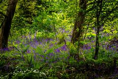 Bluebell Wood (Tony Shertila) Tags: britain europe family outdoor ©2018tonysherratt llanddanielfab wales unitedkingdom wals anglesey plas newydd nationaltrust plants flora blue bells wood trees