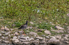 9Q6A8060 (2) (Alinbidford) Tags: alancurtis alinbidford brandonmarsh nature redshank wildbirds wildlife