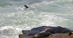 Sea lion trying to get the right wave to reach the rocks (JonSalim) Tags: sealions seals seal sandiegobeach sandiego sandiegosealions lajollacove seelöven