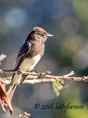 Phoebe (katejbrown photography) Tags: bird blackphoebe botanicalgarden flycatcher goldengatepark katebrown katejbrown nature sanfrancisco