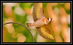 """Gold Wing..."" (NikonShutterBug1) Tags: nikond7100 tamron18400mm birds ornithology wildlife nature spe smartphotoeditor birdfeedingstation bokeh goldfinch wings"