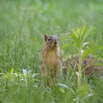 Squirrels in Ann Arbor at the University of Michigan (May 25th, 2018) thumbnail
