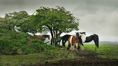 Tree horses (PentlandPirate of the North) Tags: trees horses staffordshire moorlands ~flickrinnes flickrinnes
