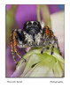 Salticidae (guitarmargy) Tags: spider salticidae ragno artropodi animal insect macro closeup wildlife entomologist marcellobardi fauna micro nature colors male bugshot