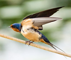 Pre-Flight Check (Scott M. Mohn) Tags: bird nature wings sonyilca77m2 wild beak colorful plumage wingspan barnswallow blue spring minnesota bokeh migratory perched animal hirundorustica birdwatching little passerine action avain talons
