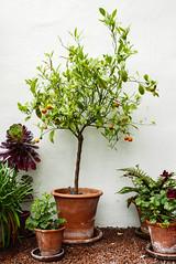 Calamondin Orange tree plant (BL1956) Tags: nationaltrust benningbroughhall citruscalamondin lx100 minaturetree york citrusfruit