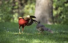 Golden pheasants. (richard.mcmanus.) Tags: goldenpheasant bird pheasant wildlife courting london kewgardens china mcmanus