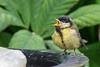Little bird, first day outside (pel16931) Tags: wervershoof noordholland netherlands nl koolmees sonya55