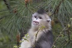 Yunnan snub nosed monkey. (richard.mcmanus.) Tags: yunnansnubnosedmonkey monkey blacksnubnosedmonkey china primate forest trees mcmanus yunnan