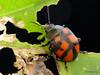 Leaf Beetle, Platyphora sp., Chrysomelidae (Ecuador Megadiverso) Tags: amazon andreaskay beetle chrysomelidae coleoptera ecuador id490 leafbeetle platyphorasp rainforest
