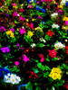 Fractured Flowers (Steve Taylor (Photography)) Tags: primulavulgaris primula digitalart colourful contrast newzealand nz southisland canterbury christchurch city plant flower distorted texture winter