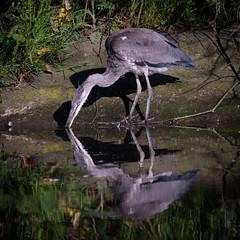 Grey Heron (redape99_) Tags: nikon bird birdlife cork ireland nature outdoors reflection water wildlife