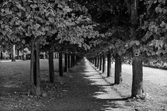 The path (gambajo) Tags: 1year1town1lens brühl blackandwhite blackwhite black white project outdoors public trees path way row aley alley park schlosspark augustusburg x100s fujix100s fujifilmx100s bäume weg allee sunlight shadows sonnenlicht schatten reihe