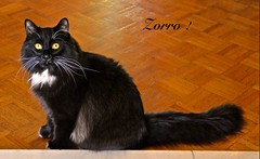 MY NAME is ZORRO, I HAVE NOW 11 MONTH OLD and I LIVE in MONTREAL ( Qc ) (Guy Lafortune) Tags: animal chat noir blanc moustaches whiskers chaise seat curtain rideau desk bureau fenêtre window male companion mâle yeux eyes sourcils oreilles ears plancher floor montreal quebec canada montréal québec marvelous merveilleux printemps fall month may mois mai closeup near zoom près macro
