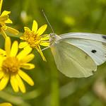Papillon thumbnail