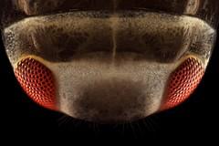 Plea minutissima nymph (?) (mr.sansibar) Tags: jansjö arthropoda aquatic olympusbh2 heteroptera nymph freshwater pondlife darkfield insect focusstacking photomicrography microscopy heliconfocus larva polarizedlight notonecta waterboatman