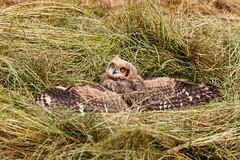IMG_0817 (TvdMost) Tags: afrikaanseoehoe buboafricanus fotografieworkshop oehoe owl spottedeagleowl uil valkerijschaap wilson birdofprey roofvogel