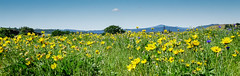 Rowena Crest balsamroot (Mike_100) Tags: balsamroot panorama columbiarivergorge flowers meadow oregon pacificnorthwest rowena rowenacrest