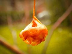 Semilla de abedul (Helga Wolf) Tags: rbol otoño naturaleza