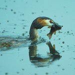 Great-crested grebe thumbnail