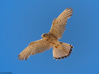 Cernícalo vulgar-Xoriguer comú (Falco tinnunculus)