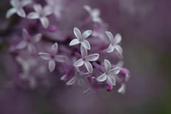 Lilac Syringa Red Pixie (natureloving) Tags: flower lilacsyringaredpixie macro bokeh nature flowersinfrance fleursenfrance flowersineurope natureloving nikon d90 afsvrmicronikkor105mmf28gifed