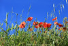 rêverie (BPM.Photography) Tags: coquelicots colors green blue red nature rêverie prairie cute