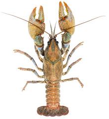 Devil Crayfish (Tristan Schramer) Tags: devil crayfish cambarus diogenes illinois male