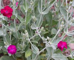 Red Purple Flowers (RockN) Tags: red purple flowers maryannstaogarden june2018 worcester massachusetts newengland