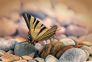 Swallowtail / Парусник на морском берегу